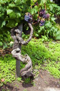 Il Nerello Mascalese ed i suoi Vini Rossi Etna DOC. Antico Vitigno a Piede Franco di Nerello Mascalese