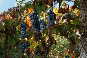 Il Nerello Mascalese ed i suoi Vini Rossi Etna DOC. Delicati Vitigni di Nerello Cappuccio dell'Etna