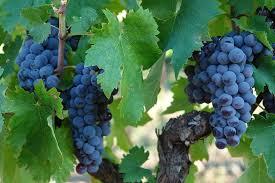 Il Nerello Mascalese ed i suoi Vini Rossi Etna DOC. Uve di Nerello Mascalese dell'Etna