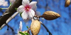 Mandorle di Avola in Fiore