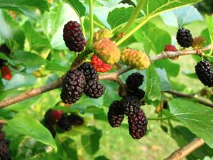 Gli squisiti Frutti del Gelso Nero