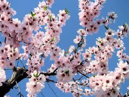 Bellissimo mandorlo siciliano in fiore