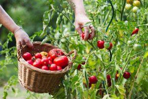 Perchè il Pomodoro Ciliegino di Pachino Essiccato al Sole è così buono?