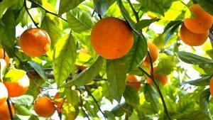 Agrumi di Sicilia: i deliziosi e preziosi frutti invernali