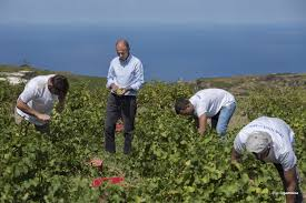 La vendemmia dello Zibibbo Donnafugata a Pantelleria