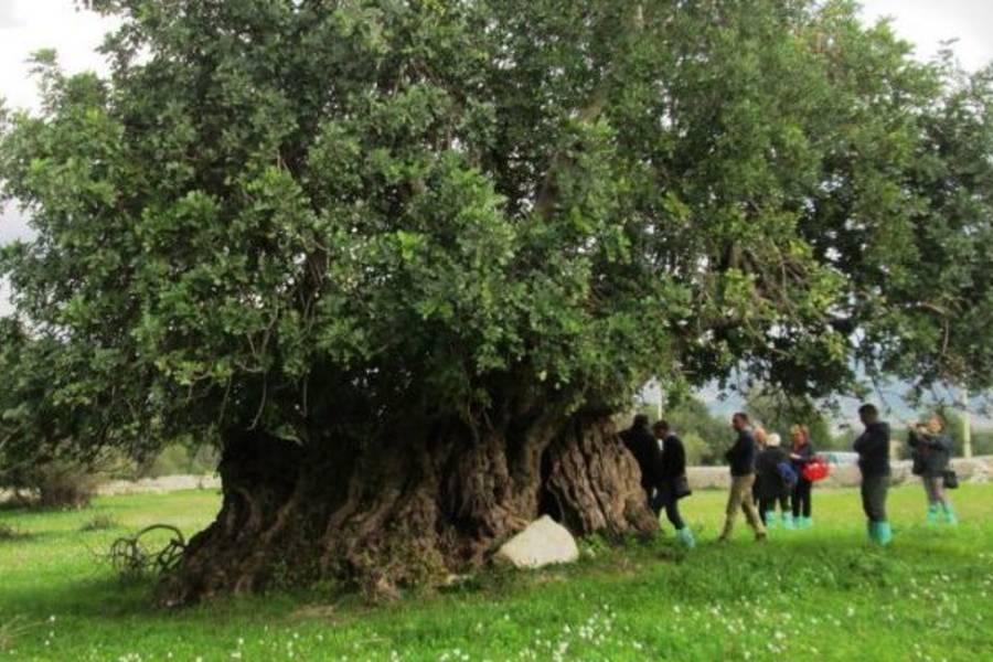Albero centenario di Carrubo