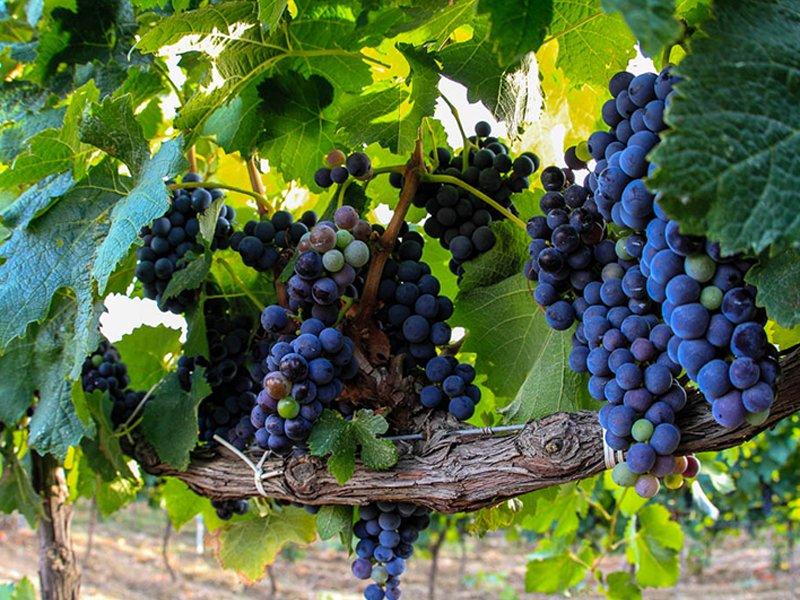 I Vitigni Tipici Siciliani per Vini autentici e raffinati