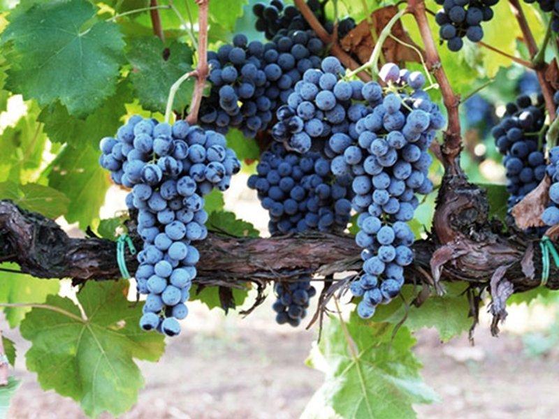 Frappato, caratteristiche e suoi vini